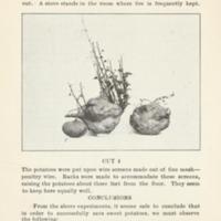 Saving the Sweet Potato Crop 6.jpg