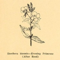 Evening Primrose.jpg