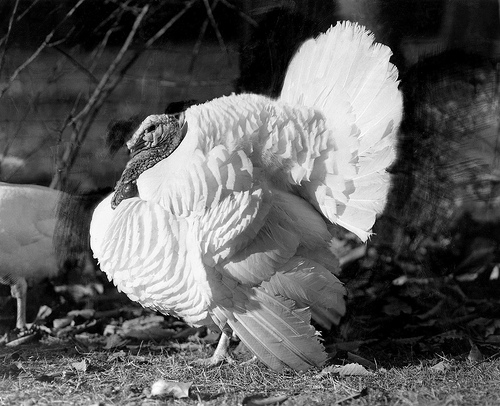 The Beltsville Small White turkey, developed by U.S. Department of Agriculture (USDA) Agricultural Research Service (ARS) scientists in the 1930s, met the American homemaker's needs and secured the turkey's starring role on holiday tables