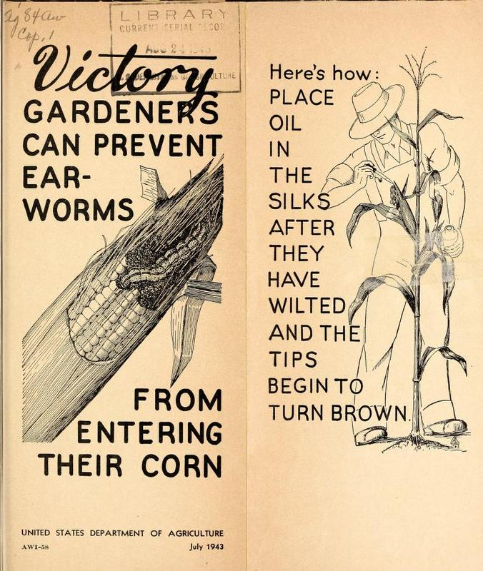 Victory Gardeners Can Prevent Ear-Worms From Entering Their Corn