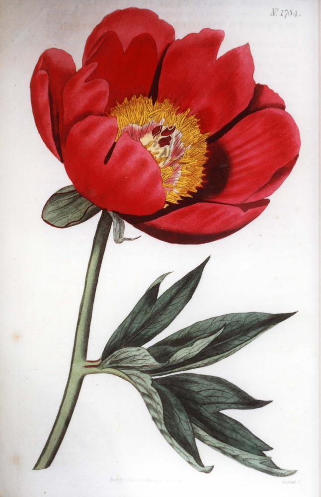 Plate from Curtis's Botanical Magazine, Volume 43, depicting a Single-flowered Common Peony
