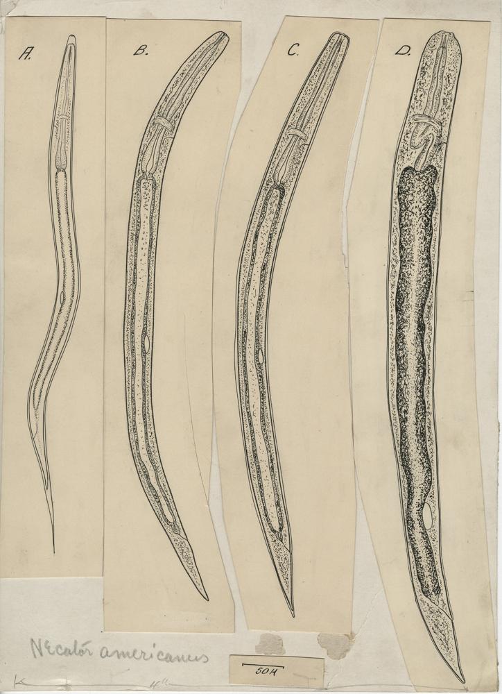 Hookworms · USDA's Contributions to Veterinary Parasitology