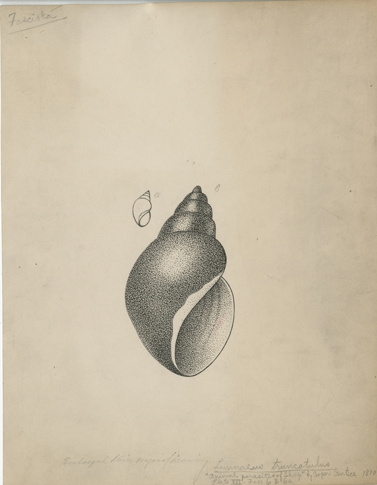 """Life cycle of liver fluke (Fasciola hepatica): Snail  (Linnaeus truncatulus).  Drawing used in """"Animal Parasites of Sheep"""" by Cooper Curtice, 1890.  Plate XVI, Figures 6 and 6a."""