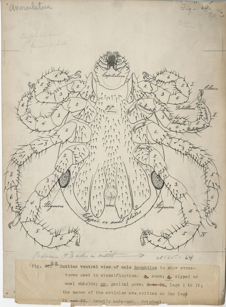 Thumbnail for the first (or only) page of Outline ventral view of male Boophilus annulatus to show structures used in classification. Bureau of Animal Industry Annual Report, 1900 (Plate LXII)..