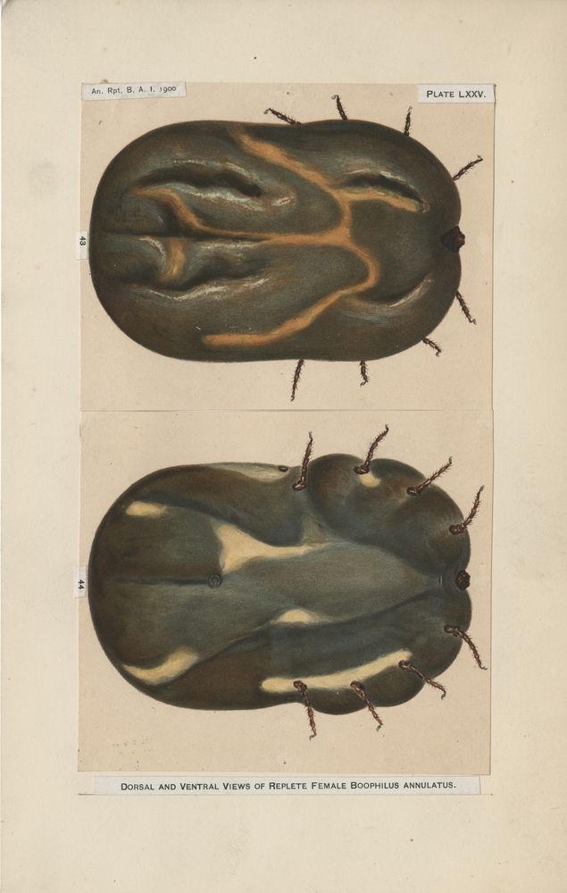 Dorsal and Ventral Views of Replete Female Boophilus annulatus. Haines, artist, for Bureau of Animal Industry Annual Report, 1900 (Plate LXXV).