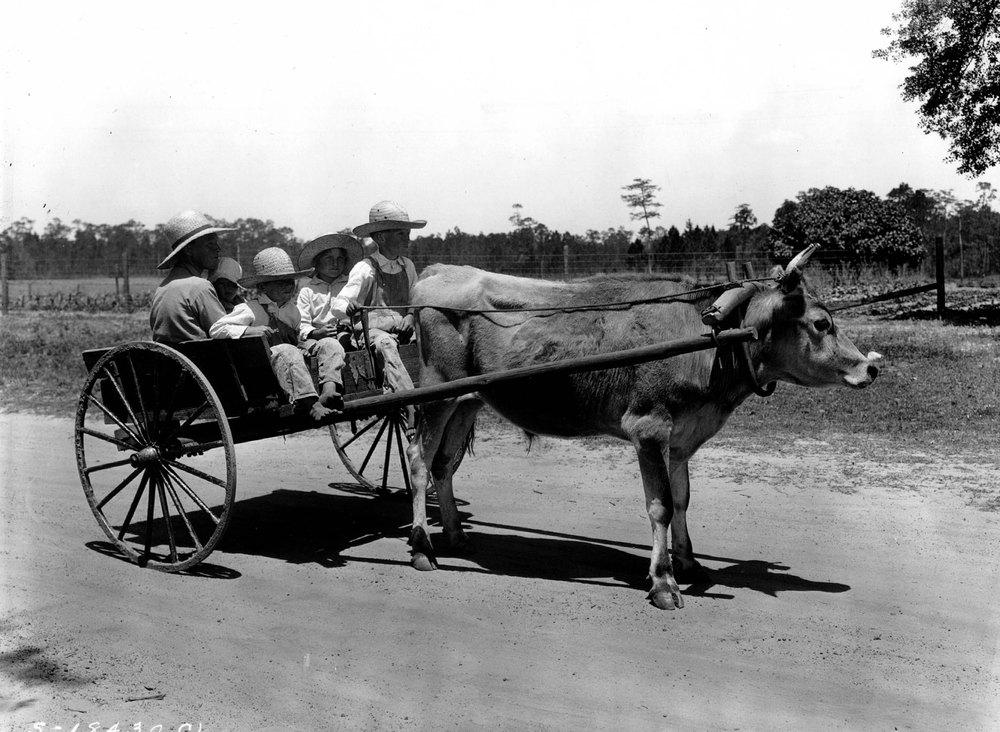 Florida children driving an oxcart