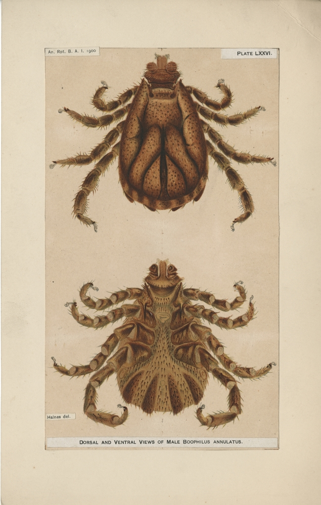 Dorsal and Ventral Views of Male Boophilus annulatus. Haines, artist, for Bureau of Animal Industry Annual Report, 1900 (Plate LXXVI)..