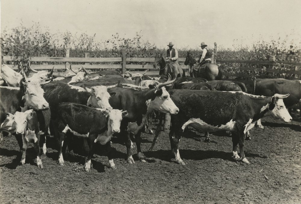 Thumbnail for the first (or only) page of Tifton, Georgia cattle showing signs of ticks.