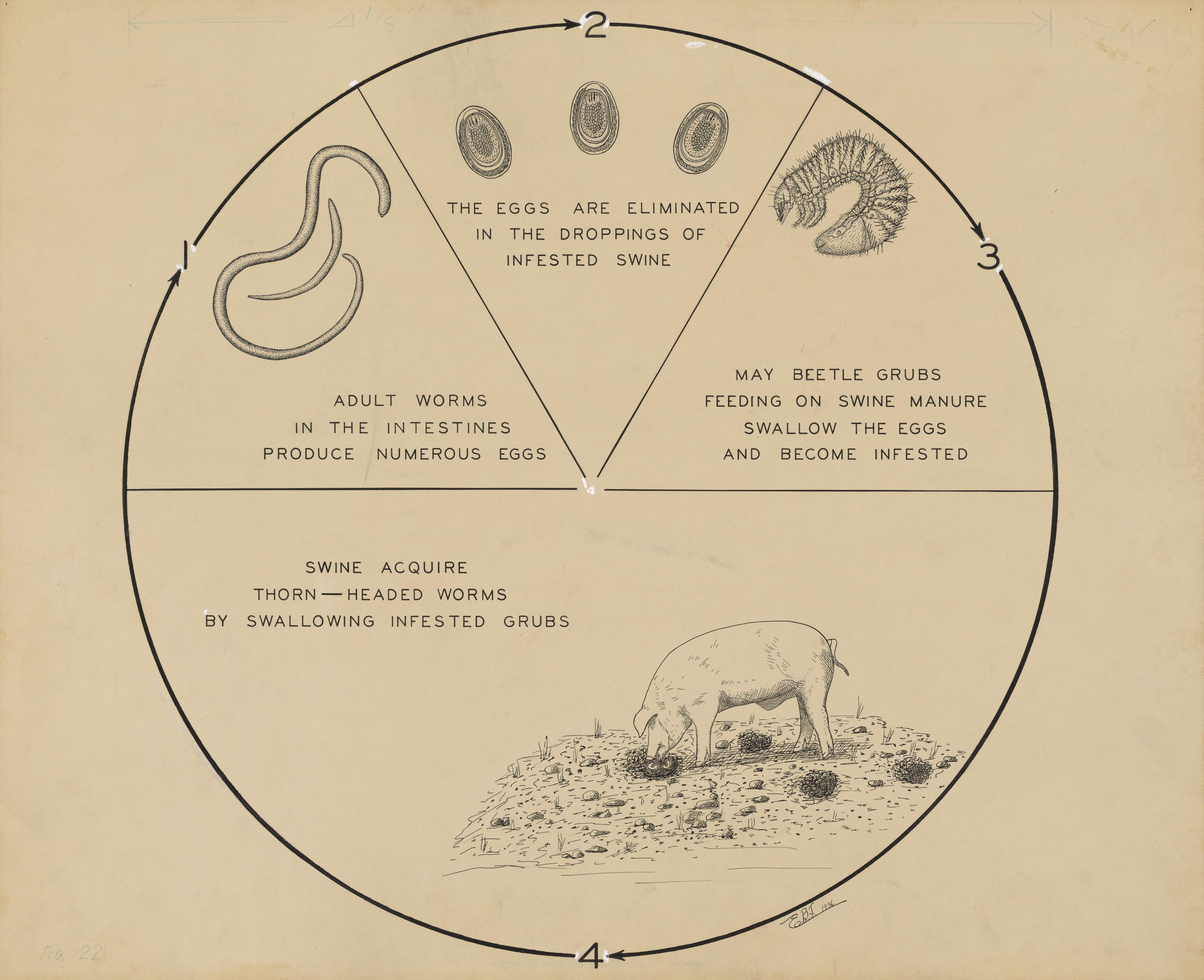Internal Parasite Worm Diagram - Download Wiring Diagrams •