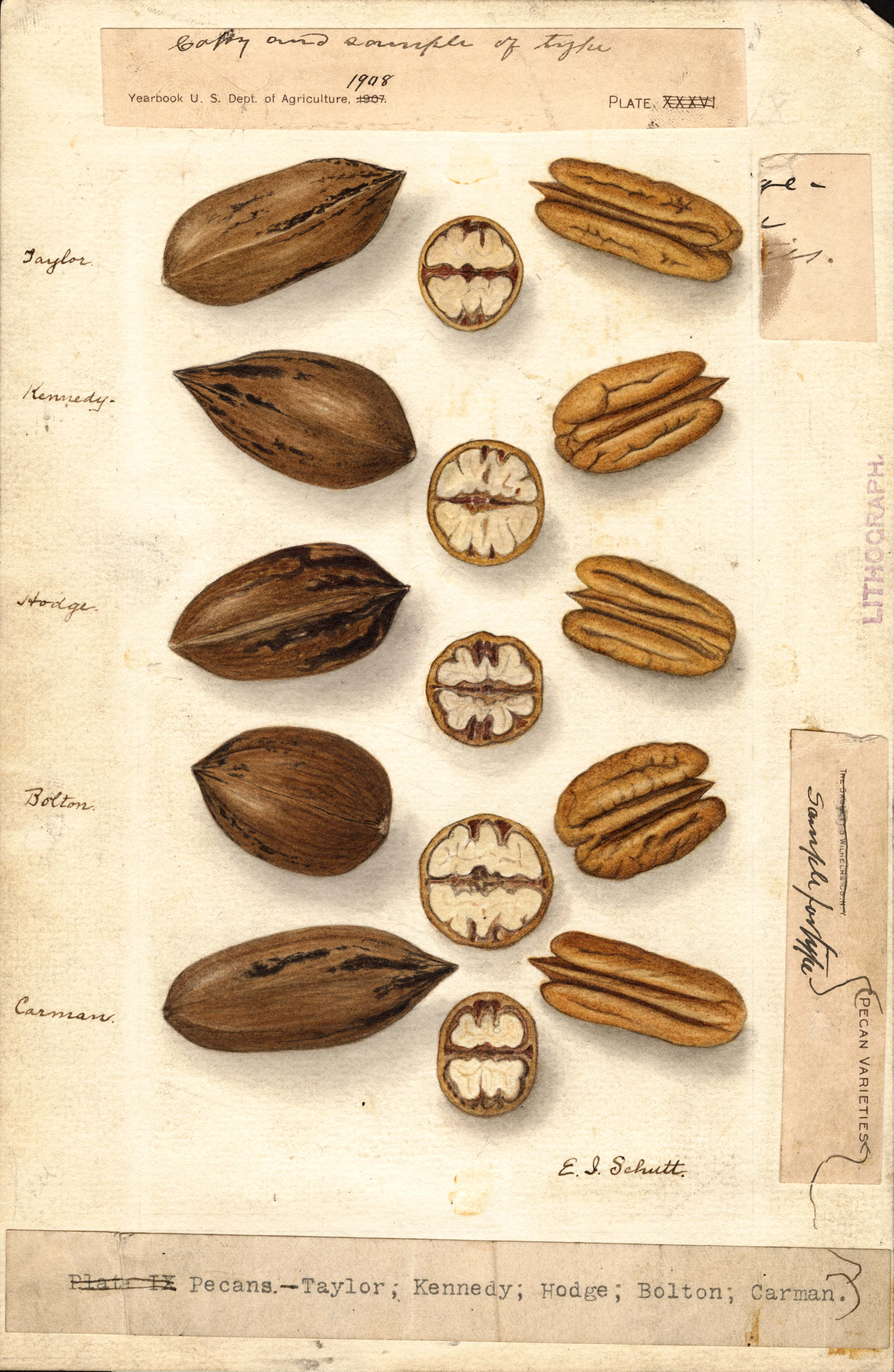 Pecan Carya Illinoinensis 183 Special Collections Exhibits