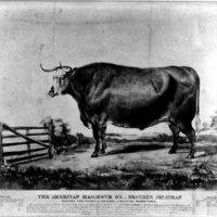 Big Ox