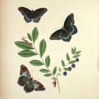 Papilio ursula - Tab. X.