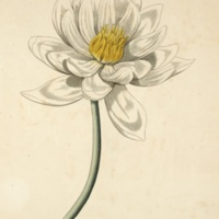 Aegyptian Lotus