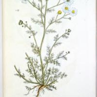 Cotula faetida (May-Weed or Faetid Camomile) - Plate 67