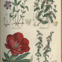 Periwinkle, Pimpernel, Peony, Pennyroyal - Plate 26