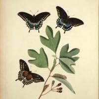 smith_lepidopterous_Ilioneus_plateII.jpg