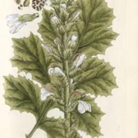 Acanthus, Branca ursina (Bears Breech or Brank Ursin) - Plate 89