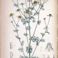 Matricaria Chamomilla - Plate 155