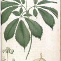 Panax quinquefolium - Plate XXIX