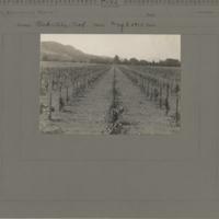 Oakville Experimental Vineyard