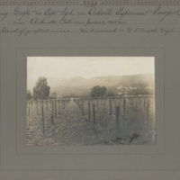 Stand of young grafts of Herbemont in Experimental Vineyard