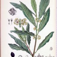 Laurus nobilis - Plate 221