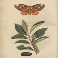 Papilio archippus - Tab. VI.