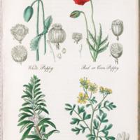 White Poppy, Red Poppy, Rosemary, Rue - Plate 39