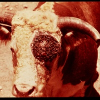 http://omeka-dev.nal.usda.gov/exhibits/speccoll/files/imports/screwworm/01599/0001.jpg