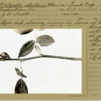 https://omeka-dev.nal.usda.gov/exhibits/speccoll/files/imports/manuscript_collections/rose_gall_midge/Wiki_Rosegall_B1_F14.jpg