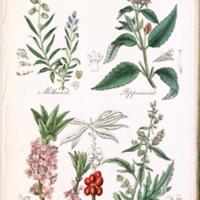 Milkwort, Peppermint, Mezereon, Mugwort - Plate 33