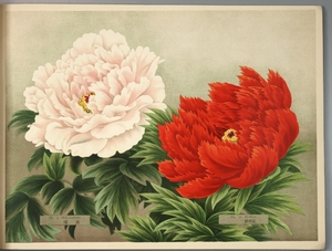 Thumbnail for the first (or only) page of Paeonia Moutan, a Collection of 50 Choice Varieties, Page 5.