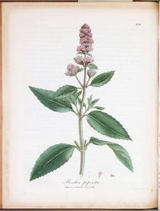 Thumbnail for the first (or only) page of Mentha piperita (Peppermint) - Plate 169.