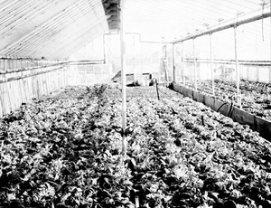 Thumbnail for the first (or only) page of The Garrett Park lettuce house which Mr. Galloway and Mr. Dorsett built for their first experiments. This was in 1893, before the section had any greenhouse of its own..