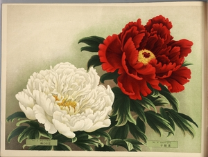 Thumbnail for the first (or only) page of Paeonia Moutan, a Collection of 50 Choice Varieties, Page 4.