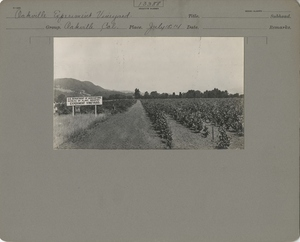 """Thumbnail for the first (or only) page of Vineyard with sign """"U.S. Department of Agriculture. Bureau of Plant Industry. Experiment Vineyard.""""."""