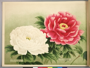 Thumbnail for the first (or only) page of Paeonia Moutan, a Collection of 50 Choice Varieties, Page 22.