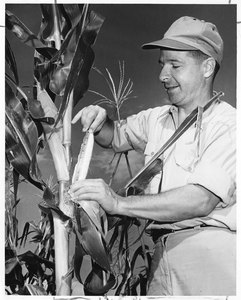 Thumbnail for the first (or only) page of Scientist measuring ear of corn.