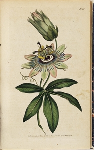 Thumbnail for the first (or only) page of Passiflora coerulea (Common Passion-Flower) - Plate 28.