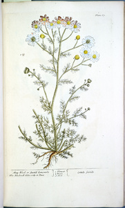 Thumbnail for the first (or only) page of Cotula faetida (May-Weed or Faetid Camomile) - Plate 67.