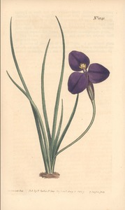 Thumbnail for the first (or only) page of Patersonia sericea (Silky Patersonia) - Plate 1041.