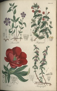 Thumbnail for the first (or only) page of Periwinkle, Pimpernel, Peony, Pennyroyal - Plate 26.
