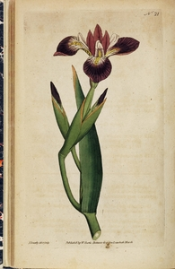 Thumbnail for the first (or only) page of Iris versicolor (Particoloured Iris) - Plate 21.