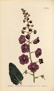 Thumbnail for the first (or only) page of Verbascum phoeniceum (Purple-Flowered Mullein) - Plate 885.