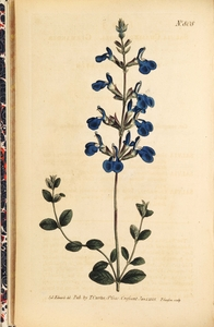 Thumbnail for the first (or only) page of Salvia chamaedrioides (Germander Sage) - Plate 808.