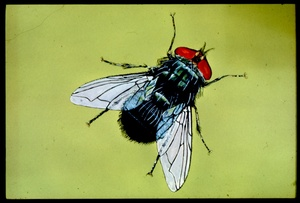 Thumbnail for the first (or only) page of Slide of adult screwworm fly.
