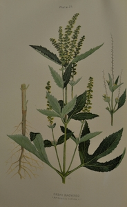 Thumbnail for the first (or only) page of Ambrosia trifida (Great Ragweed) - Plate 23.