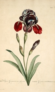 Thumbnail for the first (or only) page of Iris Vulgaris Germanica  .