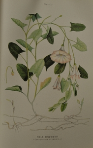 Thumbnail for the first (or only) page of Sonchus arvensis (Sow Thistle) - Plate 34.