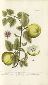 Thumbnail for the first (or only) page of Cydonea or Mala cotonea majora (Quinces) - Plate 137.